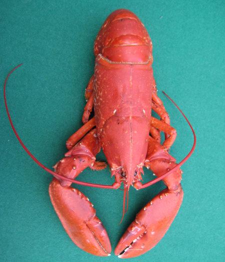 Fencebay Farm Shop - Lobster